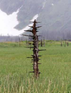 Earthquake Tree (Kenai Fjords National Park) - In 1964 a 9.2 earthquake hit the Kenai Peninsula causing widespread damage. In many places the land itself sank some five feet. This dropped the roots of tree you see (and many thousands of others in the area) into the salt water table, thus both killing and preserving the trees.
